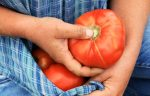 Harvesting ripe heirloom tomatoes at 47th Avenue Farm