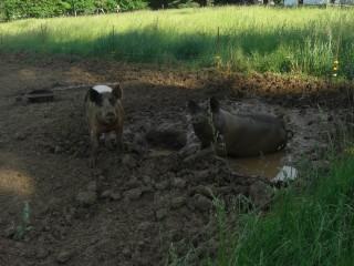 brad's pigs