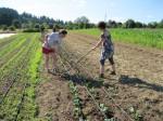 Weeding cabbage