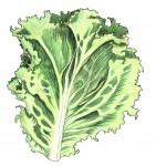 Lettuce_Color