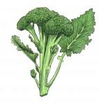 Broccoli_Color